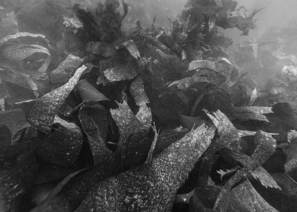 Nicolas Floc'h, Paysages productifs, macro-algues, - 6 m, Ouessant, 2016