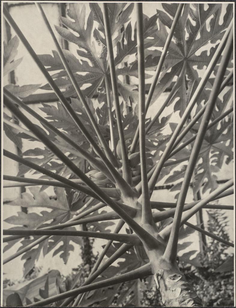 Albert Renger-Patzsch, Brasilianischer Melonenbaum von unten gesehen, 1923