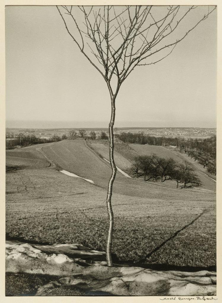 Albert Renger-Patzsch, Das Bäuchen [Le Jeune Arbre], 1928