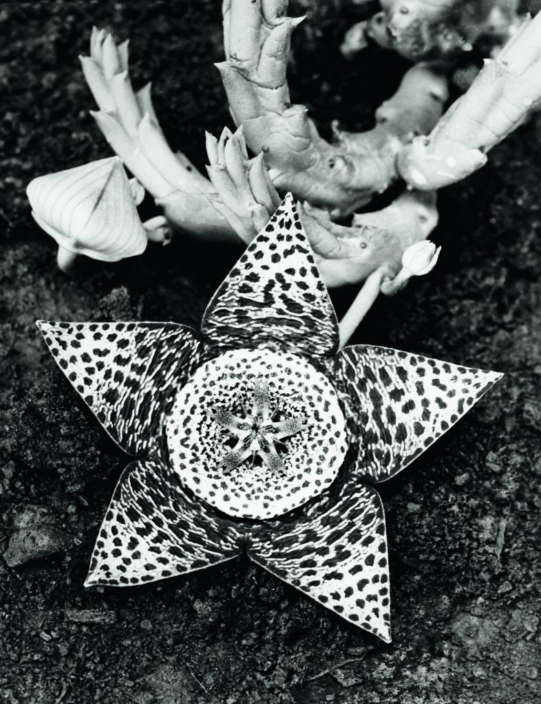 Albert Renger-Patzsch, Stapelia variegata, Asclepiadaceae, 1923