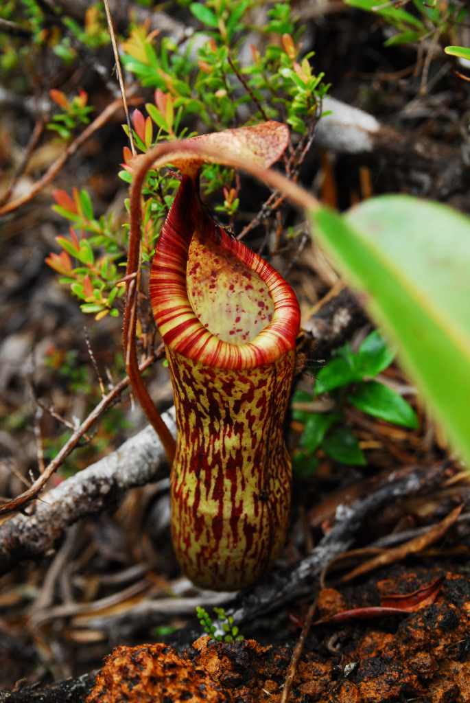 Thomas Gronemeyer Nepenthes
