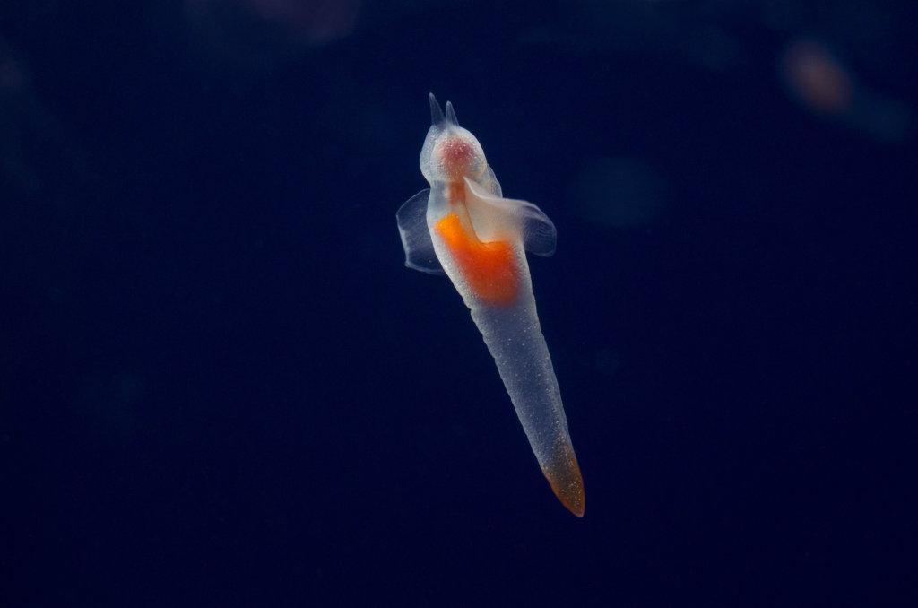 Exploration planctonique - Clione